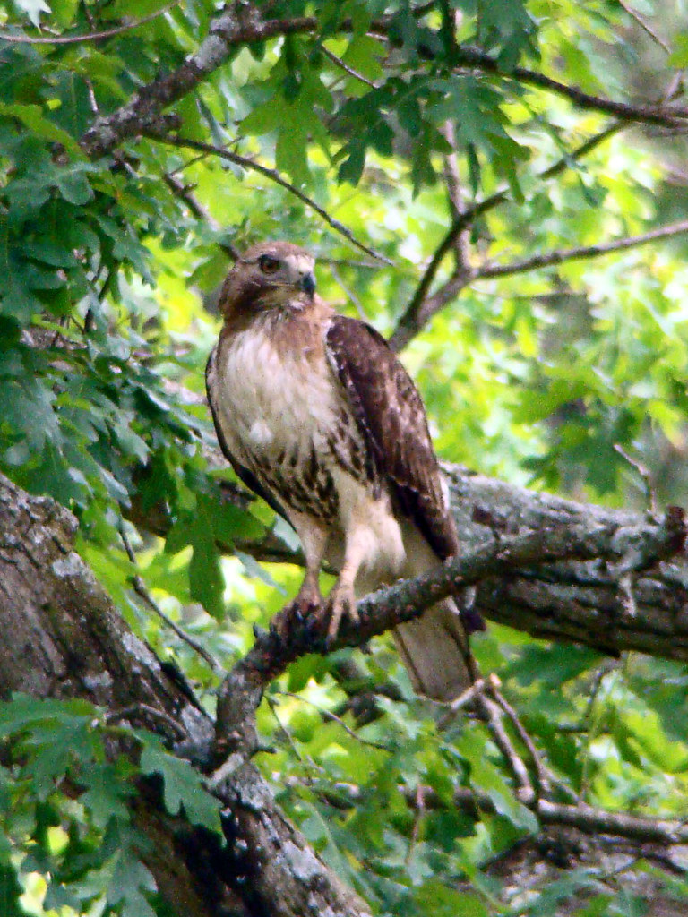 juv red tailed hawk copy