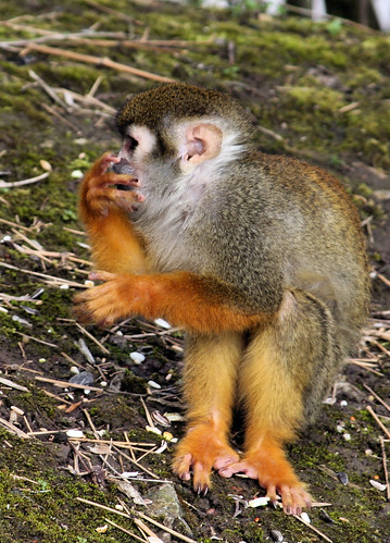 Doodshoofdaapje - Squirrel Monkey