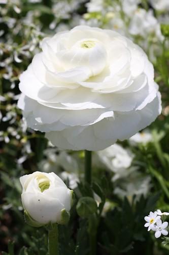 白バラの祈り / Prayer of the white rose