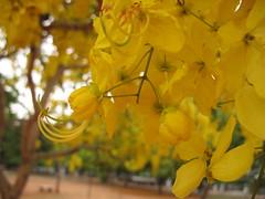 the flower in side view (vakrathundam2000) Tags: kanikonna sarakondrai bandarlathi