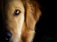 | Happy Birthday Brady | (SOBPhotography) Tags: rescue dog chien pet cane goldenretriever golden canine hond retriever perro hund brady goldenretrieverrescue