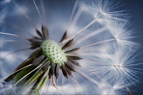 tick tock, the dandelion clock