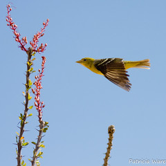 Female Western Tanager in Flight (Patricia Ware) Tags: california canon birdsinflight ocotillo bif anzaborregodesert backyardbirds pirangaludoviciana vallecito femalewesterntanager