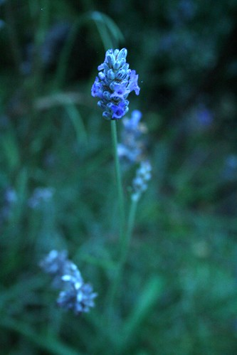 lavender at dusk