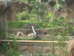 Gorilla in Campo Gorilla Reserve at Los Angeles Zoo