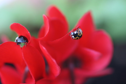 Ladybirds on a Scarlet Cyclamen