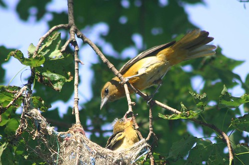 BALTIMORE ORIOLE FEEDING CHICK