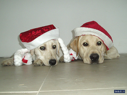 Labrador are the new Santa Claus' Little Helpers
