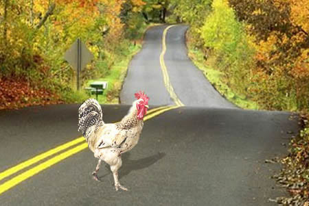 pollo cruzando