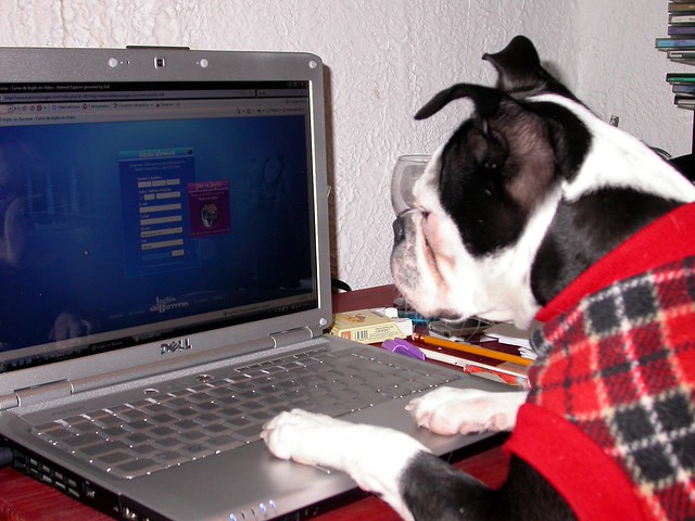 dog using a computer Boston Terrier