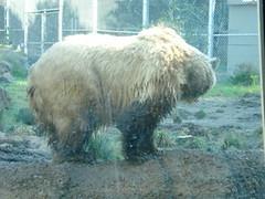 DSC00366 (PaprikaSu) Tags: animal american sanfranciscozoo ursus grizzlybear omnivore