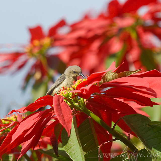 Hummingbird, Lalibela, Woldia, Ethiopia, October 2007