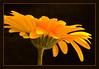 Golden Gerbera (Linda JP) Tags: gerbera daisy pictureperfect outstandingshots nikond80 frhwofavs wonderfulworldmix thegoldenmermaid goldstaraward montijoverdeamarelo lindajp