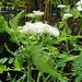 Photo: Sweet Cicely
