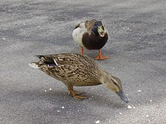 ducks 05.16.08 021