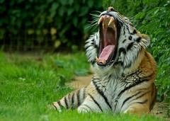 Orthodontist's nightmare (Chalto!) Tags: animal cat zoo tiger yawn bigcat captive marwell flickrchallengegroup flickrchallengewinner 15challengeswinner beautifulworldchallenges