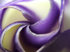 Furled (sminky_pinky100 (In and Out)) Tags: flowers macro floral flowerlovers artisticflowerphotos macrophotosnolimits floweria flowerfloweria flowersarefabulous miramorflowers thisthatmacro freeflickrflowers awesomeblossoms