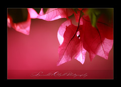 (_saurabh_) Tags: pink red flower color macro love beauty leaves leaf stem bravo expression gorgeous awesome bangalore lalbagh partialdesat saurabhdhall krishlikesit up7007untitled1