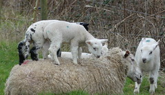 He ain't heavy...he's my brother or We ain't heavy... she's our Mother! HFF (robbie20161) Tags: fencefriday hff livestock sheep lambs nature countryside play ebrington warwickshire