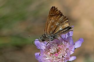 Carcharodus alceae - the Mallow skipper