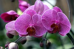 orchidarium X (xeno(x)) Tags: flowers macro art nature canon garden asia orchids 2008 xeno 40d abigfave overtheexcellence cffaa artisticandhighqualityshots