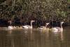 Grauwe Ganzen met kuikens op het water (Rocktrotter) Tags: nature water goose chicks kuikens greylag grauweganzen