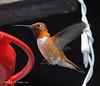The Rufous Humming Bird (jimgspokane) Tags: birds wildlife hummingbirds otw rufoushummingbirds onlythebestare nikonflickraward