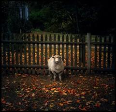 well good morning to ewe too. (jody9) Tags: boston bravo sheep utata peaceabbey magicdonkey utatafeature artlibres thatcowisabull theywereindeedpeacefullittlethings