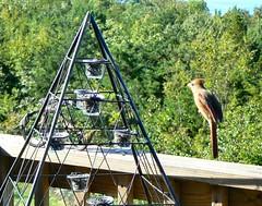 Levitating Cardinal Trick (Lollie Dot Com) Tags: bird cardinal femalecardinal levitate itsmagic lolliedotcompix p1330617nncc levitatingcardinal