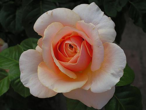 roos ellen