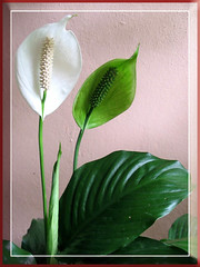 A lovely cultivar of Spathiphyllum (Peace Lily), taken October 30, 2007