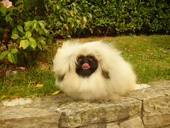 Spacky (fantasie country) Tags: show family dog cane puppy toy perro pekingese pekinese dogshow kennel breeder peke pechinese