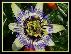 Passiflora (zogt2000 (No Video)) Tags: autumn france flower fleur automne brittany passiflora lovelyflowers lesconil