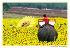 Amazing Thailand (Araleya) Tags: travel november autumn elephant flower yellow thailand happy interestingness colorful asia southeastasia joy panasonic explore sunflower dictionary lopburi fz50 naturesfinest sunflowerfield araleya 5photosaday interestingness470 i500 passionphotography goodenergy anawesomeshot decoratedanimal theperfectphotographer earthasia sitonelephantback inlclinedhorizon lifetravel groupsunflowers