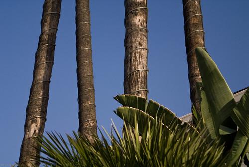 City Hall Palm Trees