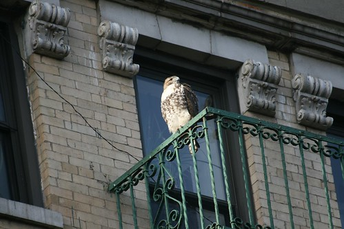 Fire escape red tailed hawk