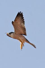 032054-IMG_4888 Grey Falcon (Falco hypoleucos) (ajmatthehiddenhouse) Tags: greyfalcon grayfalcon falcohypoleucos falco hypoleucos sa southaustralia bird 2007 australia
