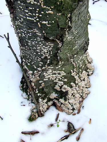birch snag in snow