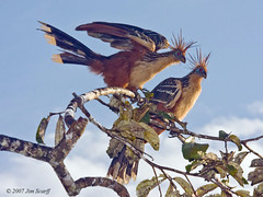 Hoatzins in the dawn light (Jim Scarff) Tags: hoatzin sachalodge opisthocomushoazin