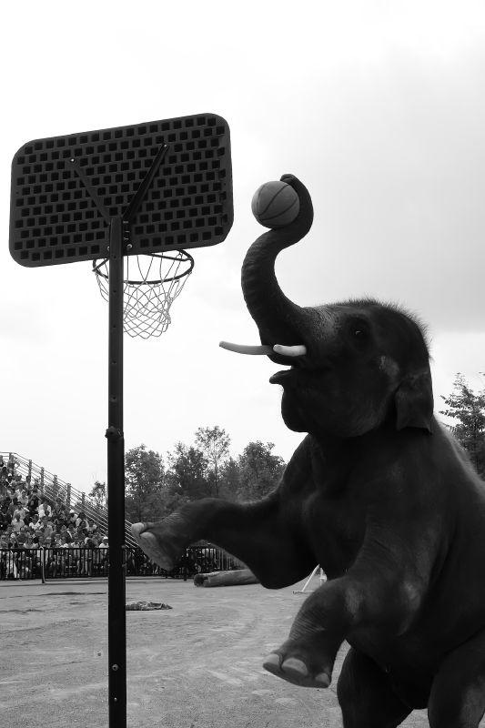 Elephant Basketball