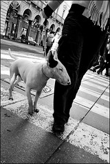 Torino 0083 (malko59) Tags: street blackandwhite italy dog cane torino italia explore bullterrier turin bianconero italians bwemotions diecicento obliquemind obliquamente malko59 marcopetrino