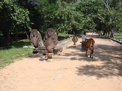 Cows & Naga