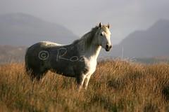 Connemara mare (Rozpravka) Tags: ireland mountain grey mare pony connemara muddy clifden connemarapony