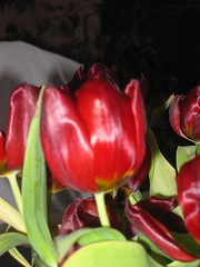 PS3 Fire - Red Tulip 02