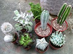 99¢ Store Cactus & Succulents (joeysplanting) Tags: cactus noid cactaceae crassulaceae purchase succulents echeveria astrophytum oreocereus 99¢onlystores