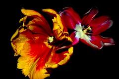 light and shadow (together8) Tags: light shadow flower color bravo tulip passion soe excellence onblack themoulinrouge firstquality passionphotography abigfave platinumphoto ultimateshot flickrplatinum superbmasterpiece supermasterpiece infinestyle goldenphotographer diamondclassphotographer flickrdiamond megashot flowererotica theunforgettablepictures betterthangood dazzlingshots theperfectphotographer goldstaraward showmeyourqualitypixels