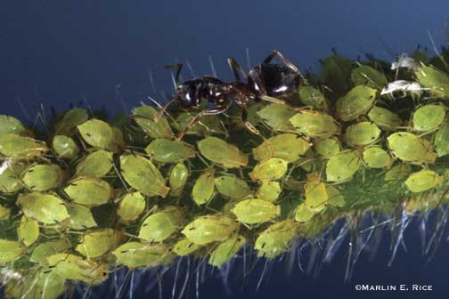 aphid-ant-5.jpg