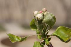 Green velvet (hapal) Tags: macro green canon eos leaf spring branch dof blossom creativecommons bud ایران سبز ایرانی 40d شاخه برگ canoneos40d hapal جوانه hamidnajafi حمیدنجفی