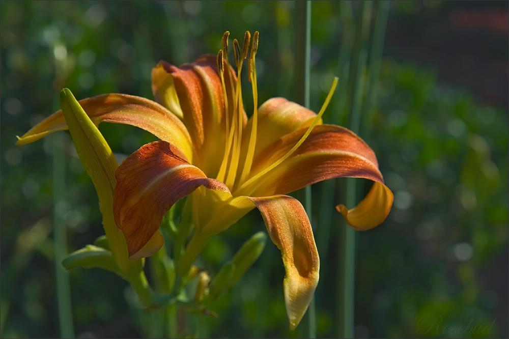 day lily (sunset) ©2008 RosebudPenfold