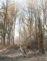 Early Morning in the Backwoods (Angie Vogel Nature Photography) Tags: woods earlymorning nature greatblueheron trees fog ridgefieldnationalwildliferefuge